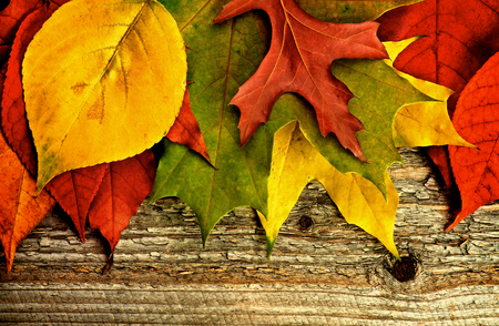 variegated: Horizontal Border of Variegated Autumn Leafs closeup on Rustic Wooden background Stock Photo
