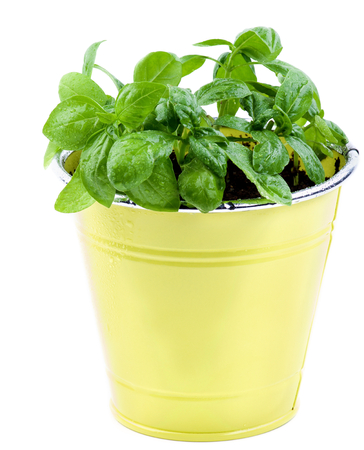 bushy plant: Fresh Green Lush Foliage Basil with Water Drops in Yellow Flower Pot isolated on White background