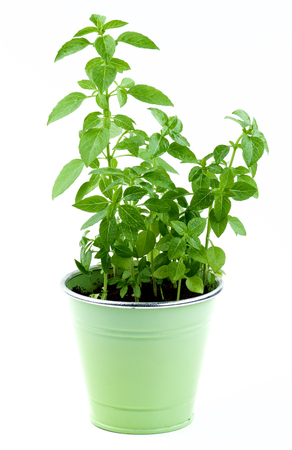 lush foliage: Fresh Green Lush Foliage Mediterranean Basil with Water Drops in Green Flower Pot isolated on White background