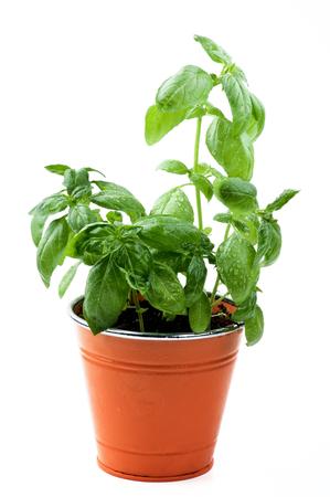 lush foliage: Fresh Green Lush Foliage Basil in Orange Flower Pot isolated on White background
