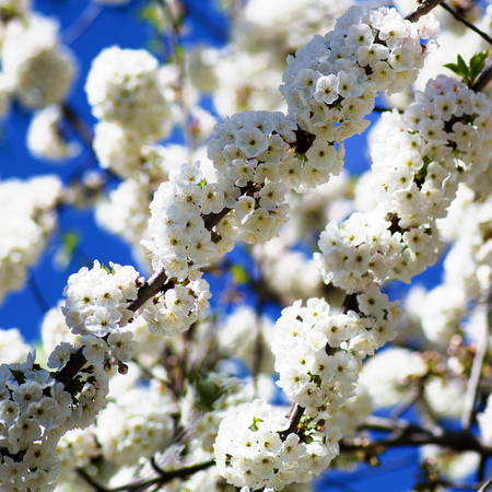 White Blossom Flower Buds of Cherry Tree with Leaves closeup on Blurred Branches and Blue Sky background Outdoors. Selective Focus