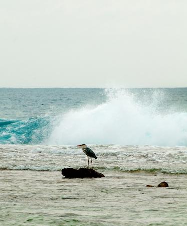 Ardea cinerea - Grey Heron Standing Over Reef in Indian Ocean Outdoors Stock Photo