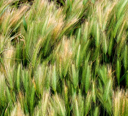 Background of Variegated Green Wheat closeup Outdoors