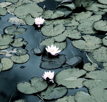 Beautiful White Creamy Water Lilies between Leafs closeup Outdoors. Focus on Foreground Standard-Bild - 116173981