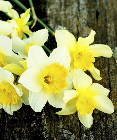 Heap of Fragile Spring Yellow Daffodils closeup on Natural Weathered Wooden background. Focus on Foreground Standard-Bild - 124963045