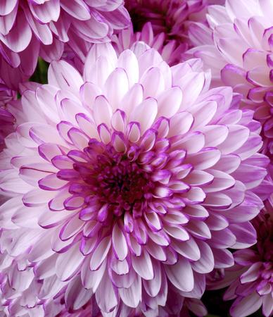Beautiful Pink and White Chrysanthemum closeup as Background