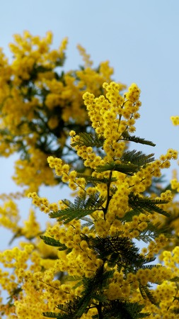 Beauty Yellow Lush Foliage Flowering Mimosa with Leafs on Blue Sky background Outdoors. Focus on Foreground Standard-Bild - 124963172