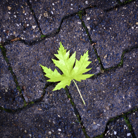 Fresh Green Maple Leaf on Asphalt closeup Outdoors Standard-Bild - 124963182