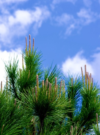 Vertical Young Shoots of Cedar Tree on Blue Sky background Outdoors. Focus on Foreground Stock Photo