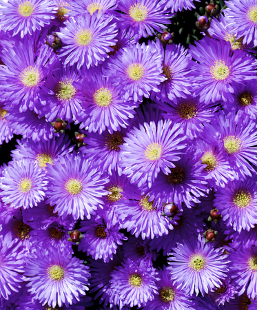 Background of Purple Iceplant Flowers closeup Outdoors Standard-Bild - 124963569
