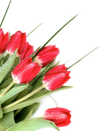 Corner Border of Seven Red Tulips with Green Grass and Water Drops closeup on White background Standard-Bild - 124963591