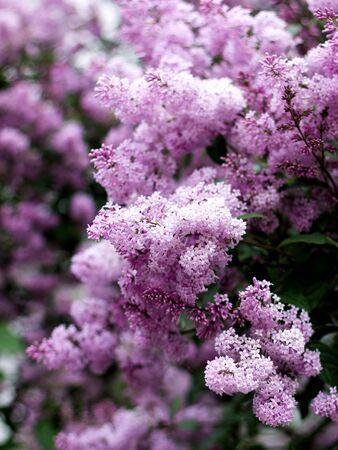 Lush Foliage Lilac Syringa Bush closeup Outdoors. Selective Focus