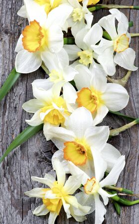 Spring White and Yellow Daffodils with Red Core and Green Leafs In a Row on Rustic Wooden background