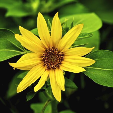 Beautiful Small Sunflower with Leafs closeup on Blurred Natural background