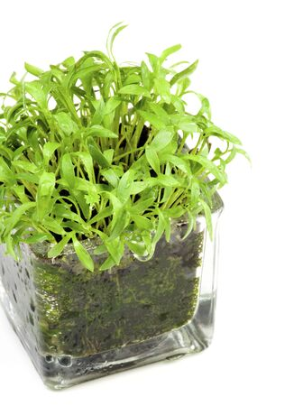Fresh Growing Coriander Greens in Glass Pot isolated on White background Foto de archivo - 147179469