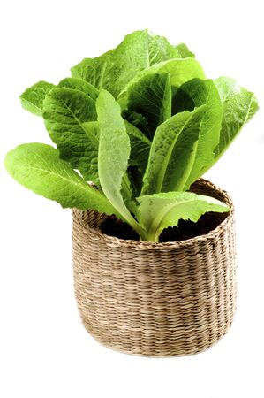 Fresh Romaine Lettuce Leafs (Lactuca sativa) in Wicker Flower Pot isolated on White background