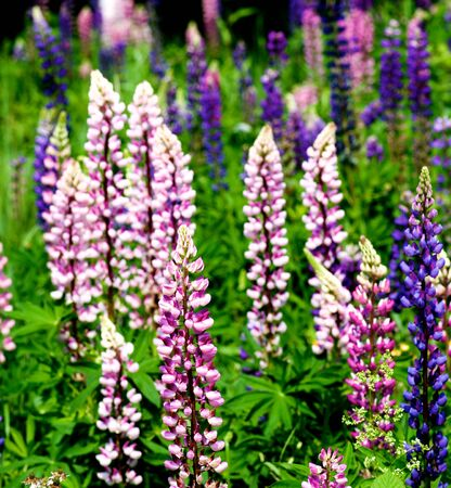 Blooming Colorful Pink and Purple Lupines closeup on Meadow Outdoors Foto de archivo