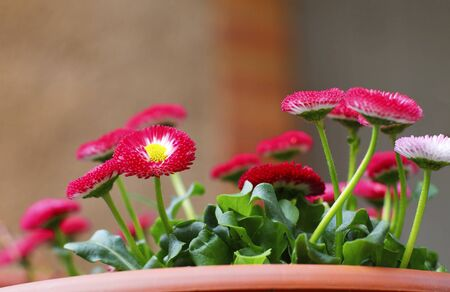 Beautiful Magenta Marguerites in Flower Pot closeup On Blurred background. Bottom View