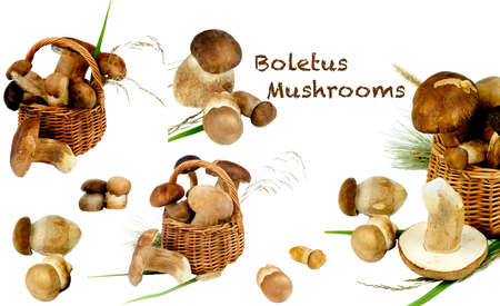 Collection of Perfect Raw Boletus Mushrooms with Stems and Dry Grass with Inscription isolated on White background