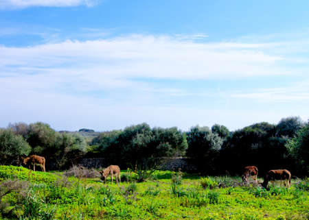 Group of Reddish Burros Eating Grass on Pasture against Cloudy Blue Sky. Menorca, Spain