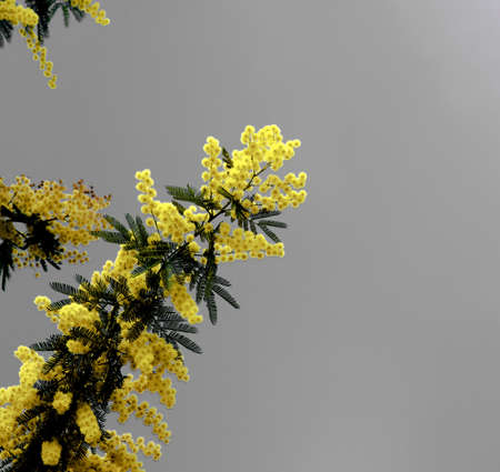 Yellow Lush Foliage Flowering Mimosa with Leafs closeup on Ultimate Gray background Foto de archivo