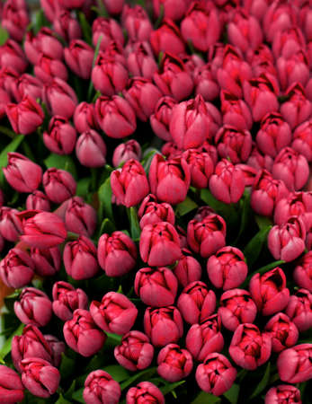 Beauty Magenta Tulip Buds closeup as Background Outdoors. Focus on Foreground Foto de archivo
