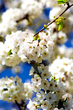 Blooming White Cherry Tree Blossom on Blurred Blue Sky background. Selective Focus Foto de archivo