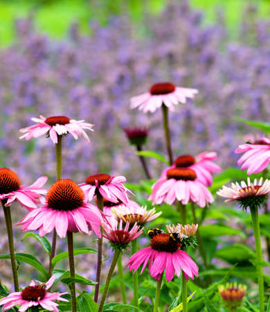 Pink Coneflower Echinacea with Two Bumblebees on Top of One Flower closeup on Blurred Natural background