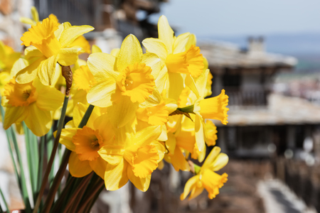 Bunch of bright springtime yellow daffodil flowers. Bouquet of daffodils