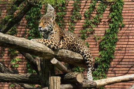 Close-up view of a Jaguar, Panthera onca, in zoo. Wildlife animal. Stock Photo