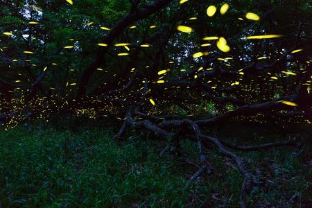 Fireflies flying in forest near Burgas city, Bulgaria. Fireflies in Strandzha mountain.