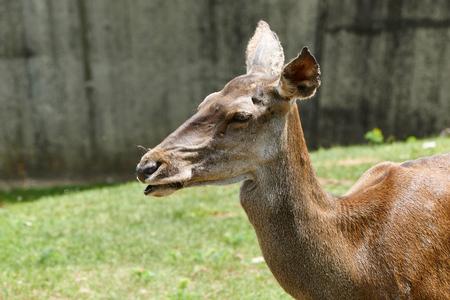 Roe deer in a zoo. Female deer. Capreolus capreolus. Stock Photo