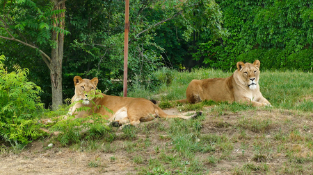 Pair of adult Lions in zoological garden. African lions. Stock Photo