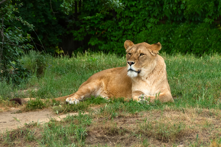 Lion in zoological garden. African lion.