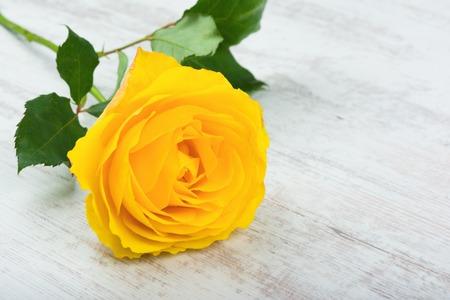 Beautiful yellow rose on white wooden background. Stock Photo