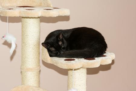 Closeup of an european sleeping black cat