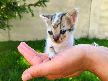 Small newborn kitten with blue eyes in human hands