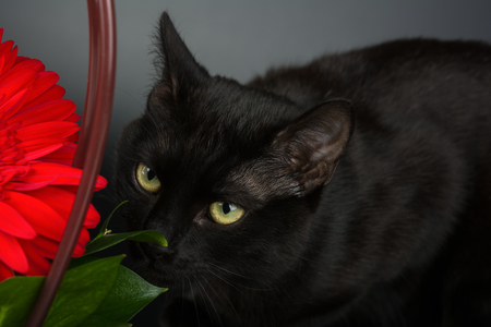 Closeup of an european black cat on black background hiding behind a red flower