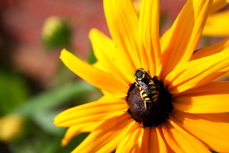 The bee sits on a sunflower on a sunny summer day