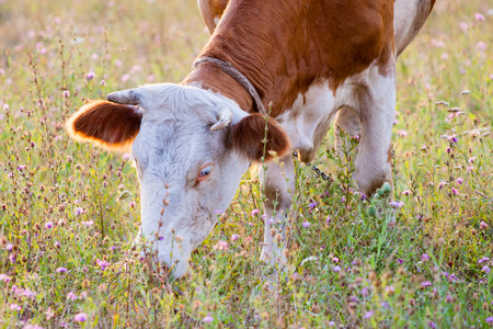 A red cow grazing on the meadow and eating grass and flowers in summer