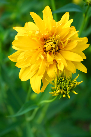 Beautiful yellow flower on a green grass background