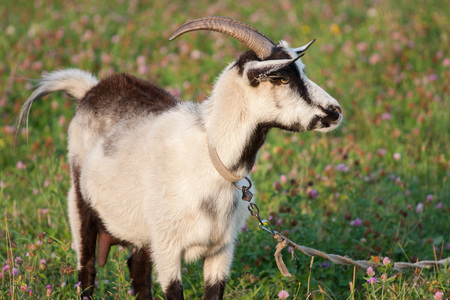 profile: A goat grazing in a meadow on a leash in summer Stock Photo