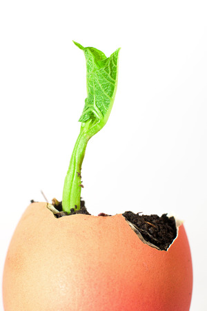 bourgeon: The plant grows from the soil, sprinkling in the egg on a white background Stock Photo