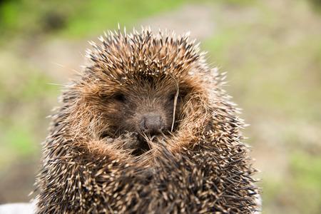 brute: Hedgehog curled. Well seen sharp spikes hedgehog.