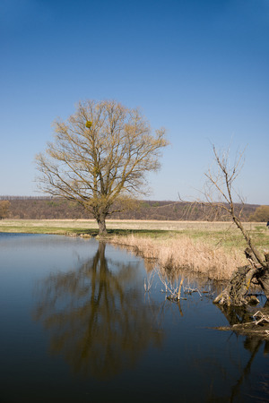 effluent: Old tree on the bank of the river  against the blue sky