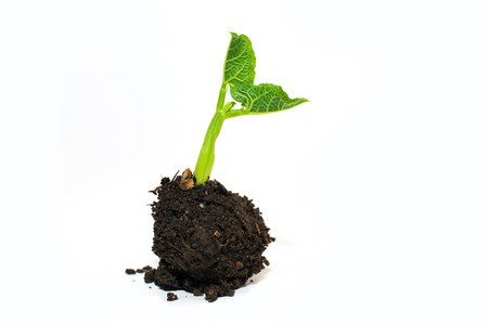 bourgeon: Green plant growing from a pile of soil on a white background Stock Photo