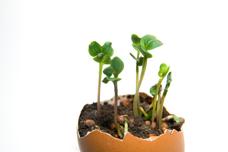 chit: The plant grows from the soil, sprinkling in the egg on a white background Stock Photo