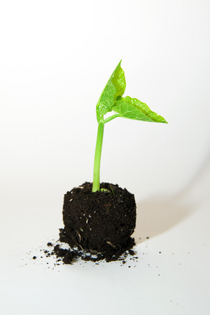 germinate: Green plant growing from a pile of soil on a white background Stock Photo