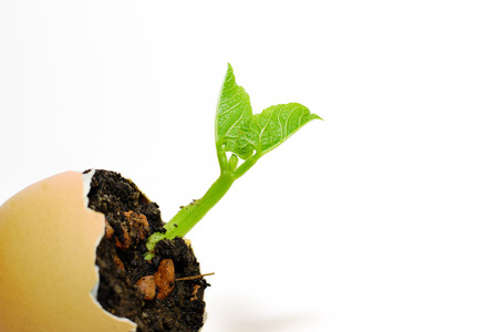 germinate: The plant grows from the soil, sprinkling in the egg on a white background Stock Photo