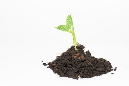 chit: Green plant growing from a pile of soil on a white background Stock Photo